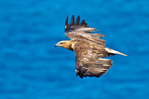 Sea Eagle in flight, See Adler  by Michael Nau