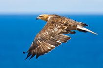 Sea Eagle in flight, See Adler 2 by Michael Nau