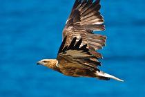 Sea Eagle in flight, See Adler 3 by Michael Nau