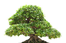 Ficus bonsai isolated von Antonio Scarpi
