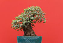 Zelkova bonsai by Antonio Scarpi