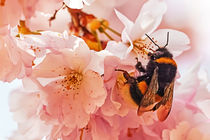 Cherry Blossom With Bee by Wolfgang Reif