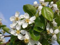 Apfelblüten  von Heike Nedo
