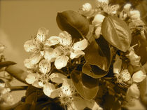 Apfelblueten-sepia