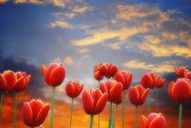 'Tulip Sunset' von CHRISTINE LAKE