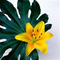 Gelbe Lilie mit Blatt. von li-lu