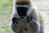 Edited-vervet-monkey