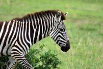 Zebra by Aidan Moran