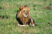 Edited-lion-lying-down