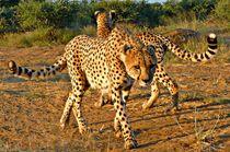 Cheetah curves by Barbara Imgrund