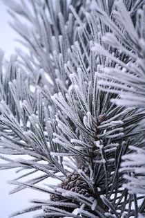 Winterkiefer von Heidrun Lutz