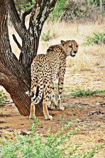 Cheetah by marking tree by Barbara Imgrund