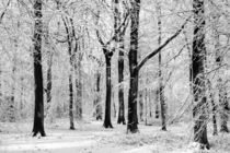 Snowy Beech Trees by David Tinsley