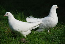 The Doves of the Peace by ANNA CAMORALI