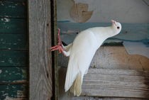 The Dove of the Peace by ANNA CAMORALI