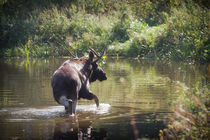 Moose in Forest Lake by cinema4design