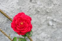 Flowers 0096 by Mario Fichtner