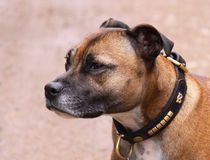 Staffordshire Bull Terrier dog von Linda More