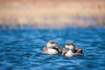 Zwei Enten von Steffen Klemz