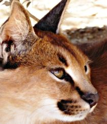 Caracal close-up by Barbara Imgrund