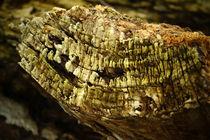 Holz-einer-alten-hohlen-pappel