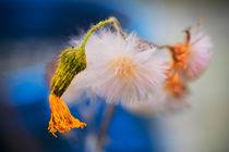 A sad bloom. von David Hare