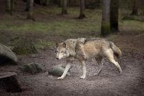 wolf von Manfred Hartmann