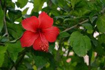 Hibiscus by Usha Shantharam
