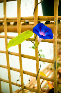 Morning Glory von Usha Shantharam