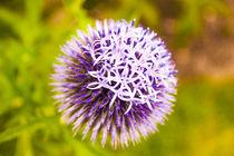Purple Allium by Vincent J. Newman
