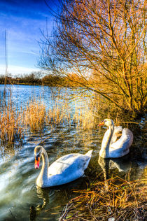Peaceful Swans von David Pyatt