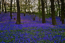 BlueBell Carpet by travelingjournalist