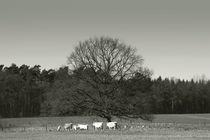 Wie Kühe auf der Weide by Bastian  Kienitz
