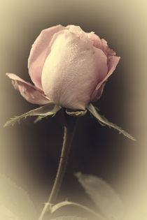 Vintage Rose by Petra Gertitschke