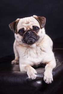 Mopsportrait by Martina Raab