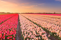Tulip fields at sunrise by Sara Winter