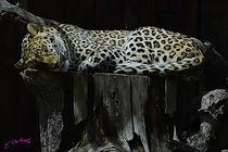 Leopard von Carlos Segui