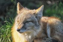 Fuchs - Fox by Jörg Hoffmann