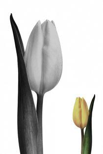 Tulpe-gelb-004e-6000sw-gespb