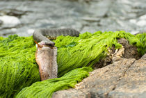 Water snake catching a fish by Igor Sinitsyn