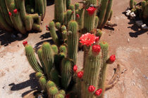 Red Flower Cactus by Aidan Moran