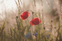 Poppy in sunrise my world von Tanja Riedel