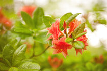 Azalea Il Tasso flowers red  by Arletta Cwalina