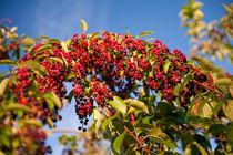Prunus serotina fruits bunches by Arletta Cwalina