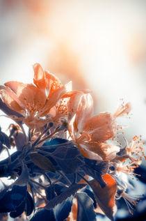 Blossom by cinema4design