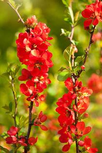 Chaenomeles shrub red flowering by Arletta Cwalina