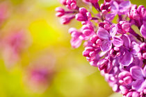 Pink Syringa or lilac flowerets by Arletta Cwalina