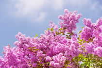 Lilac vibrant pink bunches by Arletta Cwalina