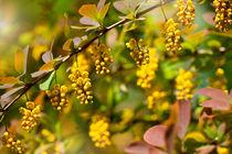 Berberis yellow flowering shrub by Arletta Cwalina