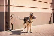 German Shepherd dog waiting by Arletta Cwalina